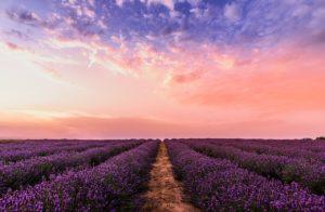 Lavendelvelden zijn een indrukwekkend gezicht