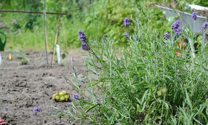 Zo staat de lavendel er bij op onze tuin