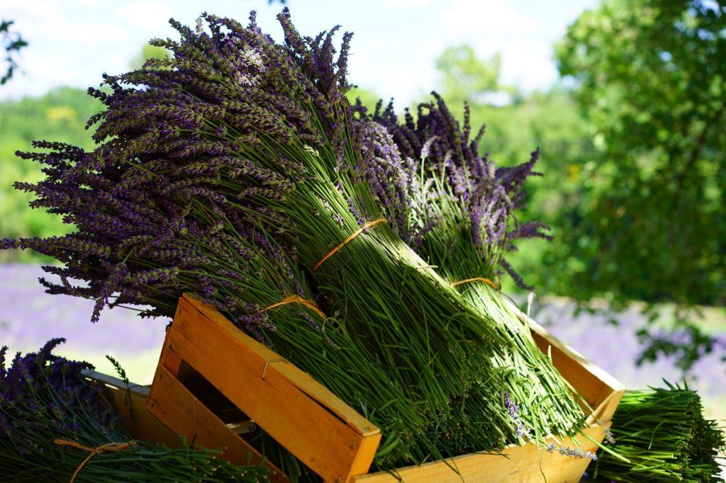 Lavendel snoeien en oogsten