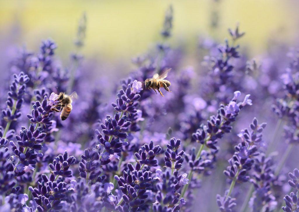 Ook bijen zijn dol op lavendel
